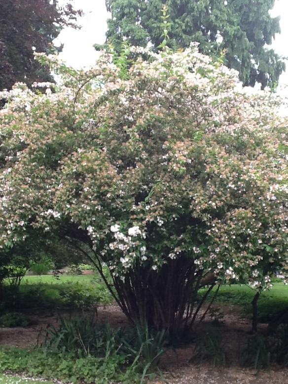 Beauty Bush