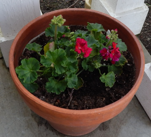 Front Porch Geraniums
