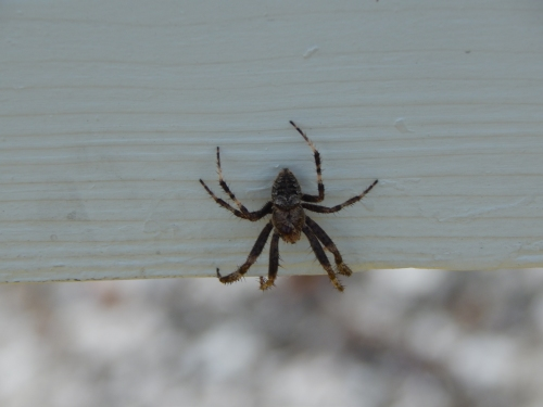 Spider on Vancouver Island