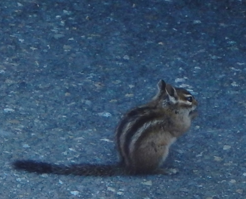 X-Chipmunk on Mt Rainier